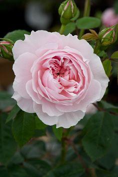 English Shrub Rose: Rosa 'Wisley 2008' (U.K., before 2008)