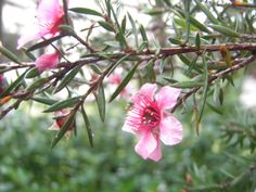 Manuka also comes in pink!