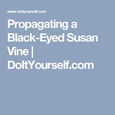 Propagating a Black-Eyed Susan Vine | DoItYourself.com