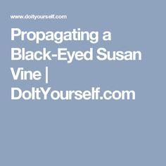 Propagating a Black-Eyed Susan Vine   DoItYourself.com