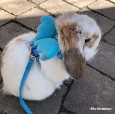 cute costumes dress up bunny rabbit small pet # small Pets Angel Wings - Leash & Harness Combo Bunny Leash, Bunny Harness, Pet Bunny Rabbits, Pet Rabbit, Mini Lop Rabbit, Ruby Rabbit, House Rabbit, Rabbit Toys, Cute Baby Bunnies