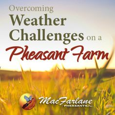 Click here for more advice on transitioning pheasants when the weather changes https://www.gamebirdexpert.com/index.php/transitioning-pheasants/