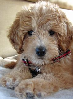 Puppy Breed: Golden Retriever / Poodle    Riley is a perfect fluffy little friend. She is very playful and outgoing. She is a kisser and cuddler when she wants to be. She loves to hang out with her older brother Manny and play outside. Most people mistake her for a stuffed animal but she is in fact a real puppy!