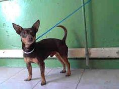 #A4753223 I'm an approximately 2 years, 6 month old male chihuahua sh. I am not yet neutered. I have been at the Carson Animal Care Center since September 6, 2014. I will be available on September 10, 2014. You can visit me at my temporary home at C313.. Carson Shelter, Gardena, California 216 Victoria Street, Gardena, California https://www.facebook.com/171850219654287/photos/pb.171850219654287.-2207520000.1410046509./304421676397140/?type=3&theater