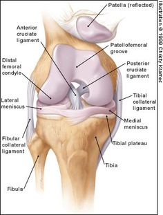 Anatomy Of Knee Joint Labeled Anatomy Physiology on Joints David Fankhaus Knee Joint Anatomy, Anatomy Of The Knee, Knee Muscles Anatomy, Knee Ligaments, The Human Body, Muscle Anatomy, Body Anatomy, Medical Anatomy, Bones