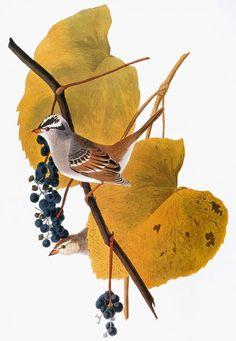 'Audubon: Sparrow'