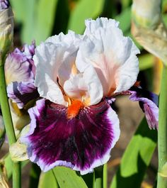 Iris 'Crimson Cloud'  Like it's orange tongue