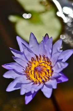Purple Waterlily by amy Lim