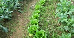 Εδώ θα μάθετε για σπορά φύτεμα καλλιέργεια λαχανικών Lettuce, Flowers, Nature, Plants, Gardening, Decor, Naturaleza, Decoration, Lawn And Garden