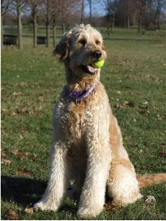 Lilly, a 5 year old Goldendoodle, is visiting the library fall 2014!