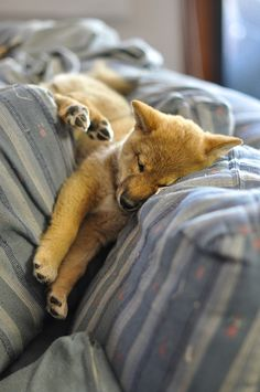 Shiba Inu Puppy  //  (Un)comfortable Sleeping Positions, via Flickr.