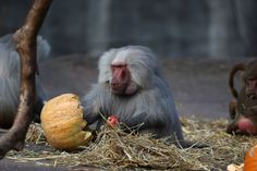 RED-FACED: Primates snacked on pumpkins stuffed with goodies at a zoo in Hamburg, Germany, Tuesday. (Action Images/Zuma Press)
