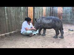 Una cría de rinoceronte huérfana se muestra así de agradecida con su cuidadora