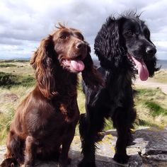 Nice pair of working cocker spaniels.