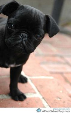 pug puppy peeking
