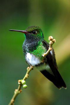 Glittering-throated emerald hummingbird. (Amozilia frimbiata). Brazil.