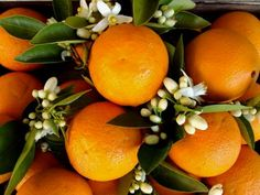 Orange blossom is one of the oldest and most important perfumery notes. The price of orange blossom (and the closely related neroli) is very high so re… Neroli Essential Oil, Essential Oils, Virginia, Orange Blossom Water, Sweet Orange Essential Oil, Oil Warmer, Candle Making Supplies, Color Naranja, Aromatherapy Oils