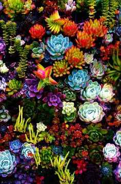 Succulents are so beautiful! I've posted a picture of succulents before, but I just couldn't resist! Look at all these beautiful colors, and imagine owning these succulents! Succulents are Easy to take care of as house plants and Absolutely beautiful! Colorful Succulents, Planting Succulents, Garden Plants, Planting Flowers, Balcony Garden, Flowers Garden, Colorful Plants, Air Plants, Flowering Succulents