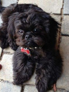 """Obtain terrific recommendations on """"shih tzu puppies"""". They are readily available for you on our internet site. Shitzu Puppies, Puppies And Kitties, Baby Puppies, Cute Puppies, Cute Dogs, Doggies, Perro Shih Tzu, Shih Tzu Puppy, Shih Tzus"""