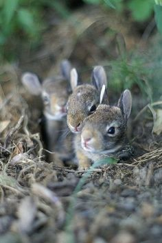 Baby rabbit in their burrow