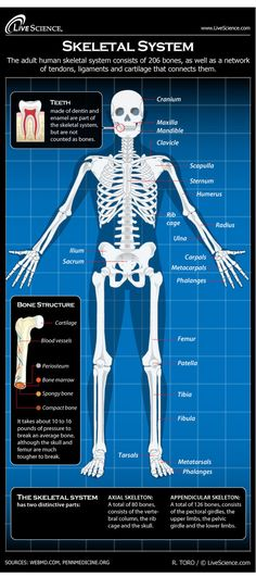 Infographic: All about your body's skeleton, the framework of bones, tendons, ligaments and cartilage