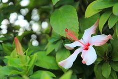 White and Pink Hibiscus  Flower Photo Print  by MermaidSightings