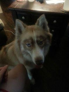 Kena 5/7/14 Husky Hybrid, Dogs, Animals, Animales, Animaux, Pet Dogs, Doggies, Animal, Animais