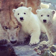 """La oso polar hembra llamada """"Cora"""" dio a luz a gemelos hace cuatro meses en el zoológico de Brno, República Checa. Hoy 16 de marzo fue la presentación del par de ositos, lo que atrajo a muchos visitantes con la esperanza de conocerlos. Foto: AFP"""