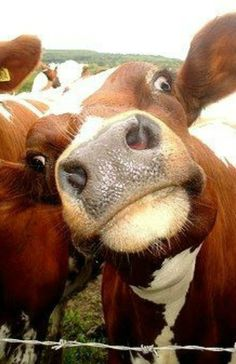 cows pulling faces