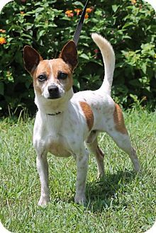 chiuaua jack russell terrier mix even this jackeranian jack russell terrier pomeranian mix 6184