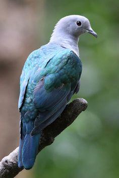 Green Imperial Pigeon (Ducula aenea) 绿皇鸠 | ©Sheau Torng Lim (Lung Fu Shan Country Park, Hong Kong) Duculea aenea (Columbiformes - Columbid...