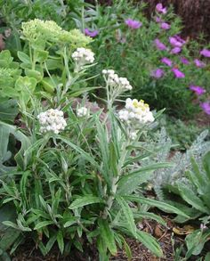 Pearly Everlasting  Anaphalis Margaritacea  grows in open, disturbed areas in foothill, montane, and subapline areas.