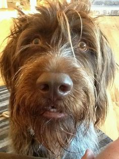 Wire Haired Pointing Griffon - looks like my girl! I Love Dogs, Cute Dogs, Scruffy Dogs, Griffon Dog, German Wirehaired Pointer, Wire Haired Dachshund, Hunting Dogs, Deer Hunting, Dog Lady