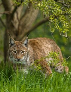 Eurasian Lynx by Colin Langford