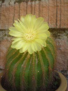 Cacto com flor amarela!  Linda D+...