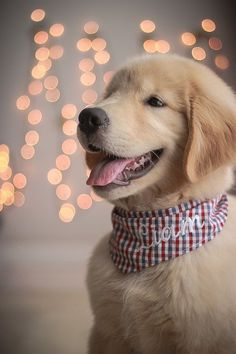 Lovable Golden Retriever smile #goldenretriever #goldenretrievers
