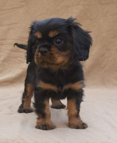 Black and Tan Cavalier King Charles Spaniel Puppy.......awwwwww  ♥♥   Must have been what Gizmo looked like as a puppy.
