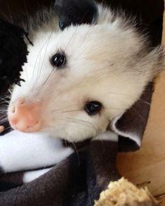 1,157 отметок «Нравится», 37 комментариев — Opie Opossum (@opietheopossum) в Instagram: «Look at that #face  @opietheopossum  @merlin_the_squirrel  . . @furrendsupclose…»