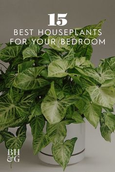 Almost as easy to grow as a pothos and twice as exciting in its leaf variegation the arrowhead vine flourishes in a variety of light conditions and would thrive in your bedroom houseplants indoorgardening plantsforyourbedroom bhg # Easy House Plants, House Plants Decor, Plant Decor, Garden Plants, Potted Plants, Garden Bulbs, Garden Shrubs, Water Plants, Balcony Garden