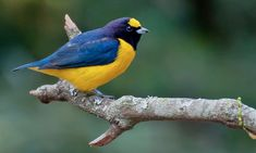 Purple-throated Euphonia - Introduction | Neotropical Birds Online