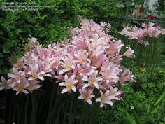 Surprise Lily, Magic Lily, Resurrection Lily, Naked Lady (Lycoris squamigera)