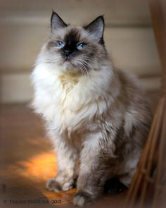 Pictures of Balinese Cat Breed-also hyperallergenic, resemble the Siamese a little. Which I grew up with Siamese!
