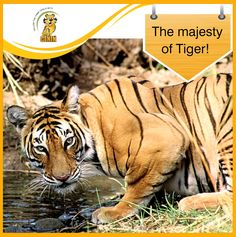 India Tigers & Wildlife: A Photo Safari: Bengal tiger, Ranthambore National Park, India Wildlife Of India, Wildlife Safari, Tiger Wallpaper, Bear Photos, India Tour, Majestic Animals, Bengal Tiger, Big Cats, Habitats