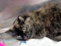Petango.com – Meet Laura, a 3 years Domestic Longhair / Mix available for adoption in TAMPA, FL