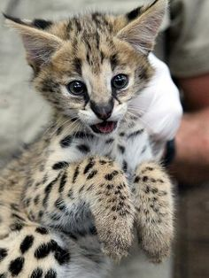 ADELAIDE Zoo is kitten-proofing the serval exhibit for three little balls of fluff fast becoming wide-eyed, curious cats. Baby Kittens, Kittens Cutest, Cats And Kittens, Cute Cats, Kitty Cats, Happy Animals, Cute Baby Animals, Animals And Pets, Beautiful Cats