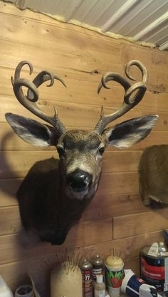 Mule Deer Buck, Moose Deer, Deer Antlers, Deer Farm, Hunting Girls, Deer Hunting, Whitetail Hunting, Whitetail Deer Pictures, Deer Pics