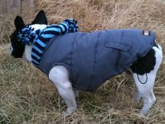 French Bull Dog outdoor wear