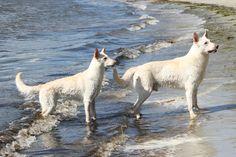 White shepherds on the beach by *SaNNaS on deviantART