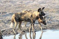 Wild dog are found in the area. Let the tracker find them for you. Wild Dogs, Camel, Africa, Animals, Image, Animales, Animaux, Camels, Animal