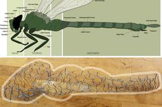 Side-view of an illustrated dragonfly and the sculpted version.